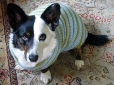 Cardigan Welsh Corgi, 2 years, Brindle